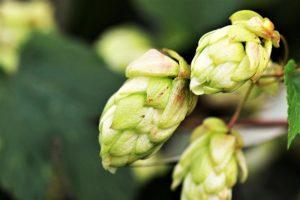 Humulus lupulus, flor de lupulo, lupulina ibosim craft beers